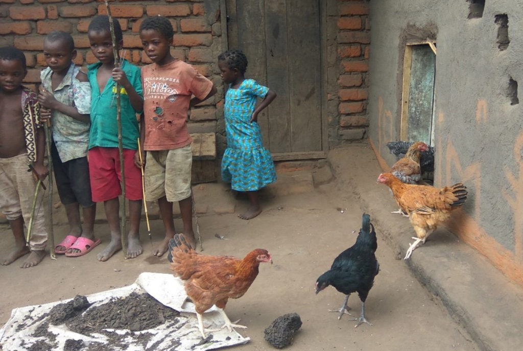 Children fascinated by Kuroiler chickens at a rural homestead in Chiradzulu District. Photo: Claire Mawandi